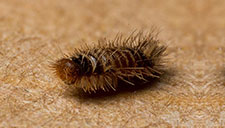 Dealing with Carpet Moths