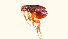 Dealing with Fleas