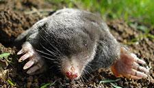 Mole Prevention & Mole Control