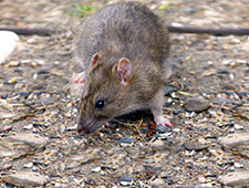 Rat and Mice Prevention