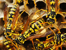 Wasp Prevention & Wasp Nest Removal