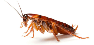 Dealing with Cockroaches in Poole Bournemouth Dorset