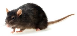 Dealing with rats in the summer - Summer pests