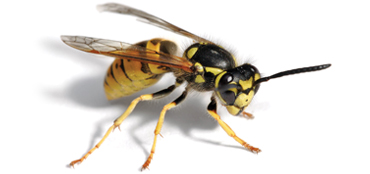 Dealing with wasps in Poole Bournemouth Dorset