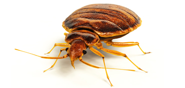 Dealing with bed bugs infestations Poole Bournemouth Dorset