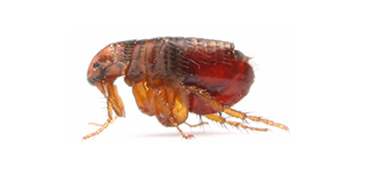 Dealing with fleas in Poole Bournemouth Dorset