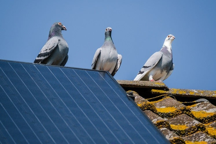 Protect your solar Panels from nesting Pigeons